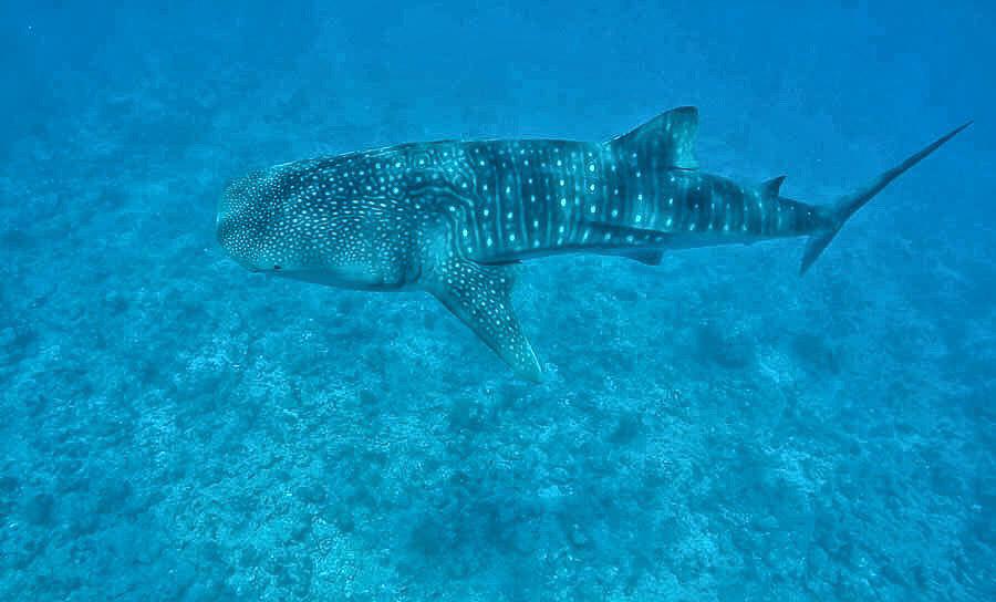 whale-shark-snorkling-maldives-sabrina-chakici-conrad-maldives-maldives-blog-cutch-carry-on-uk-tavel-blogger-5-of-6