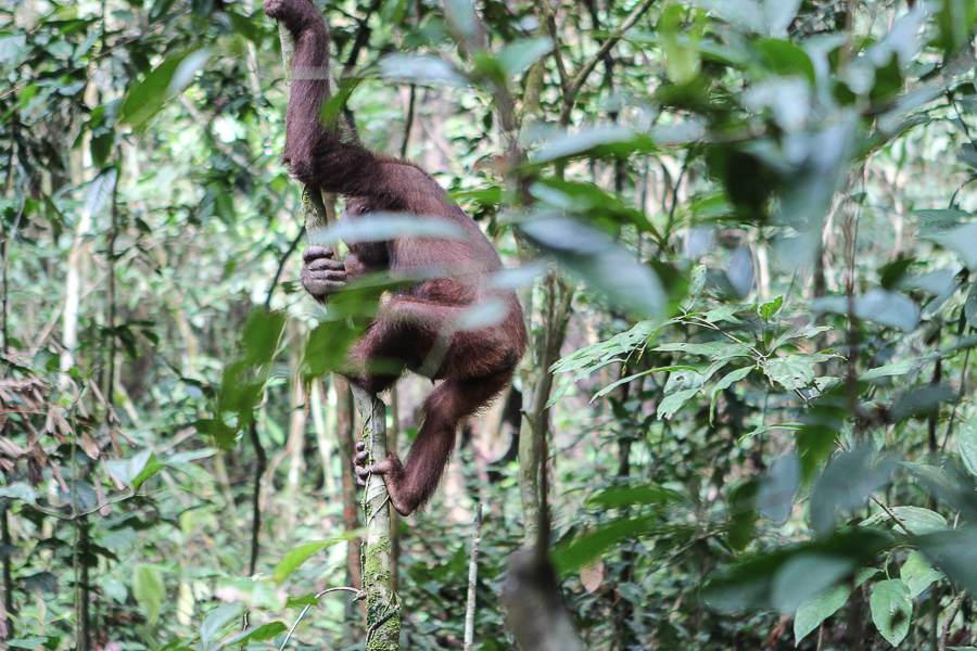 Orangutans in Sabah Borneo, Things to do in Borneo Malaysia_-14