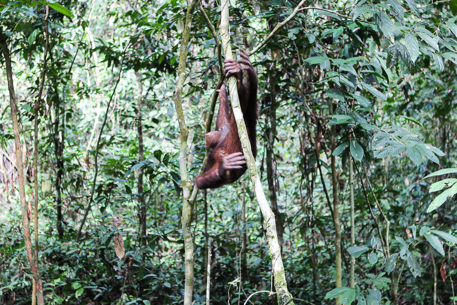 Orangutans in Sabah Borneo, Things to do in Borneo Malaysia_-15