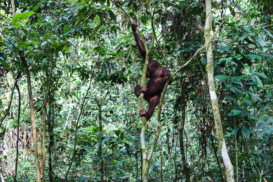 Orangutans in Sabah Borneo, Things to do in Borneo Malaysia_-16