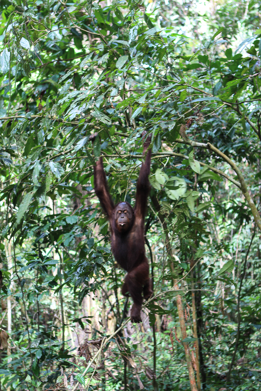 Orangutans in Sabah Borneo, Things to do in Borneo Malaysia_-17