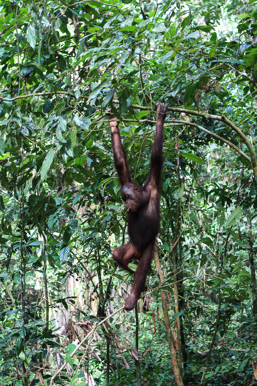 Orangutans in Sabah Borneo, Things to do in Borneo Malaysia_-18