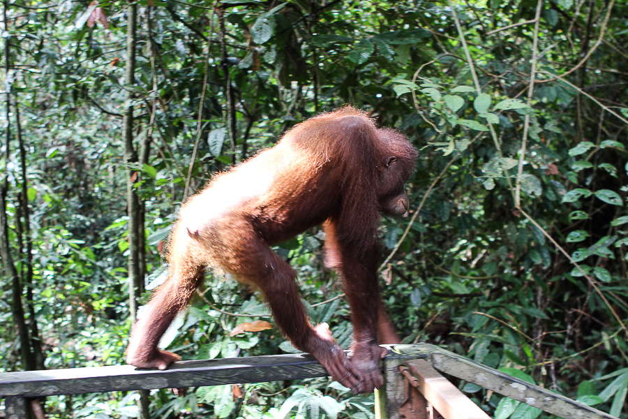 Orangutans in Sabah Borneo, Things to do in Borneo Malaysia_-20