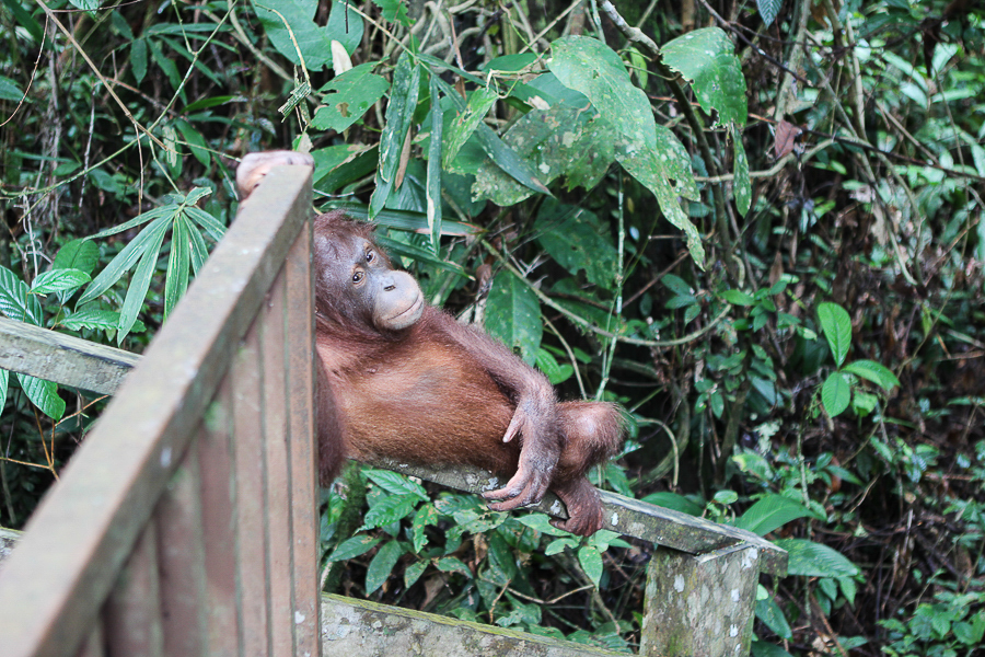 Orangutans in Sabah Borneo, Things to do in Borneo Malaysia_-21