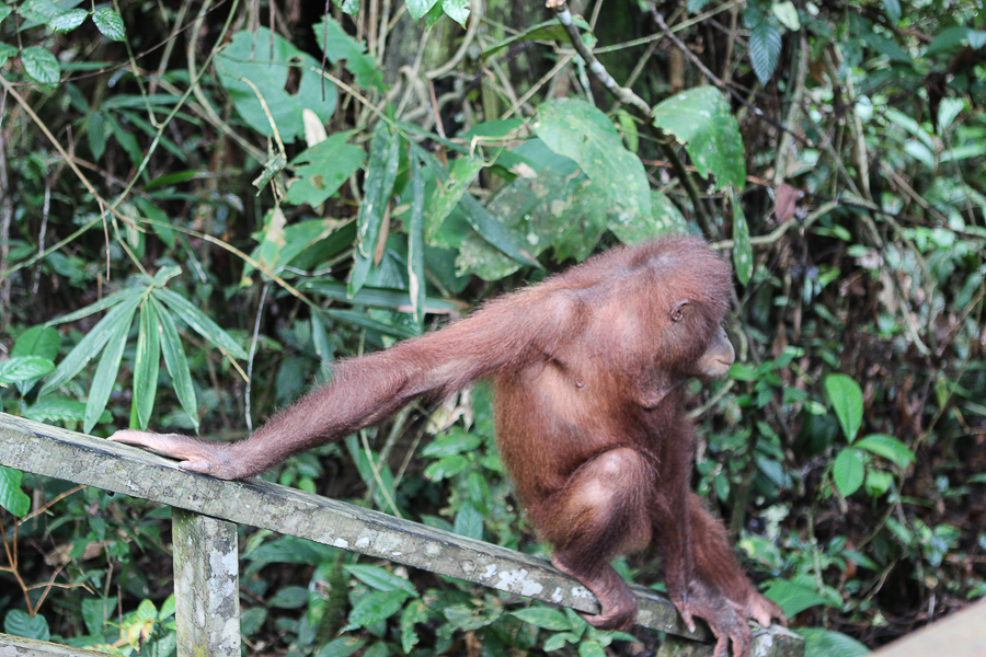 Orangutans in Sabah Borneo, Things to do in Borneo Malaysia_-22