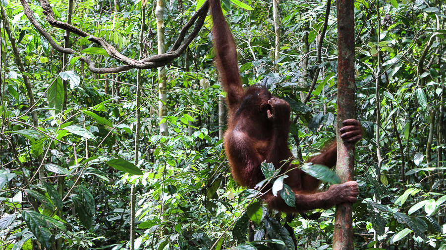 Orangutans in Sabah Borneo, Things to do in Borneo Malaysia_-28