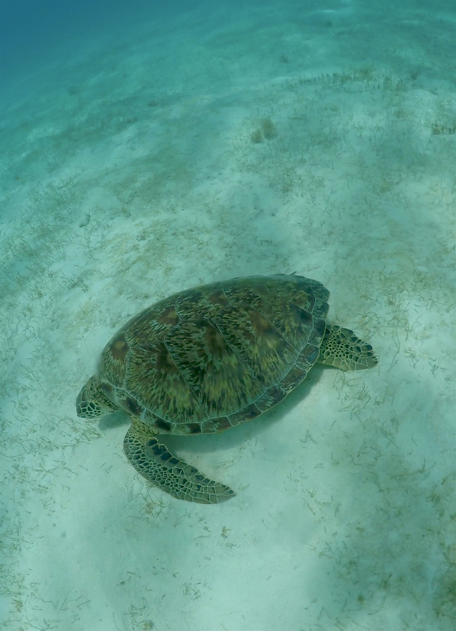 swimming with turtles - barbados 1