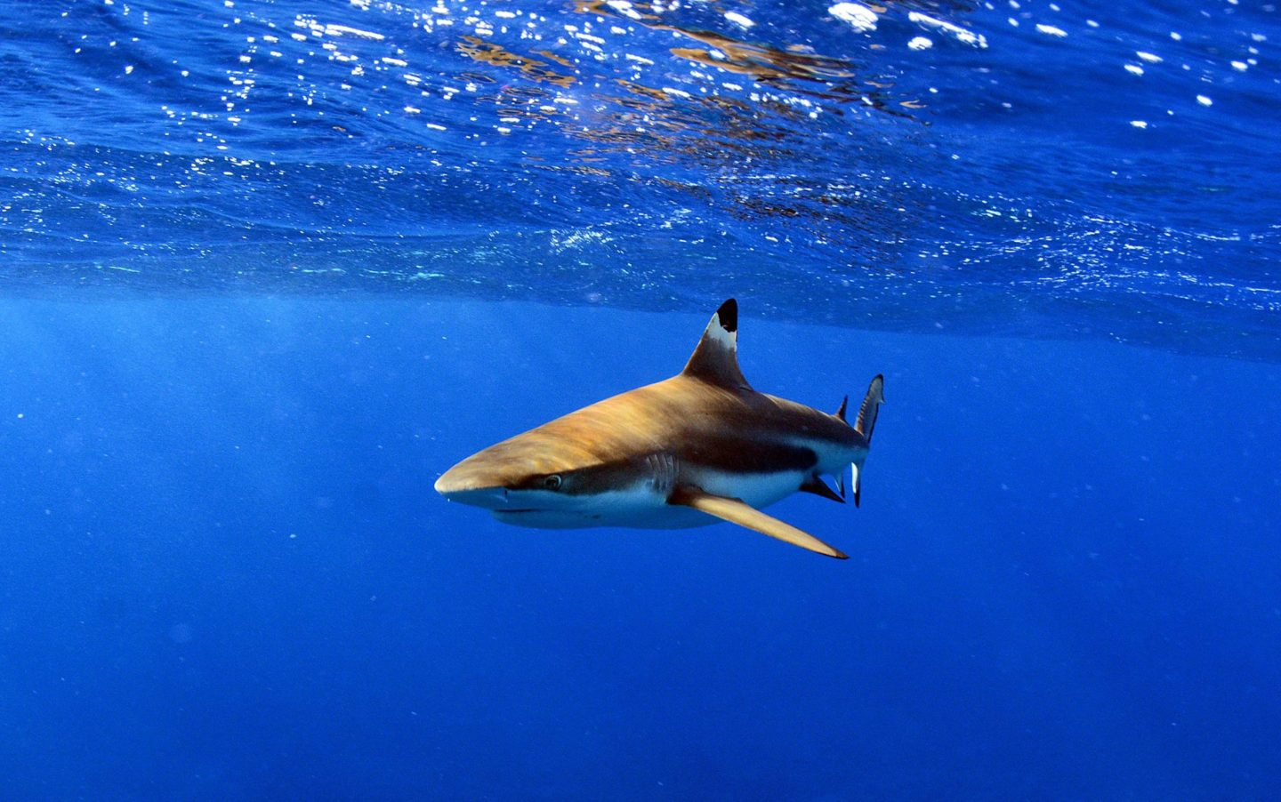 Guide to Moorea Tahiti, swimming with sharks
